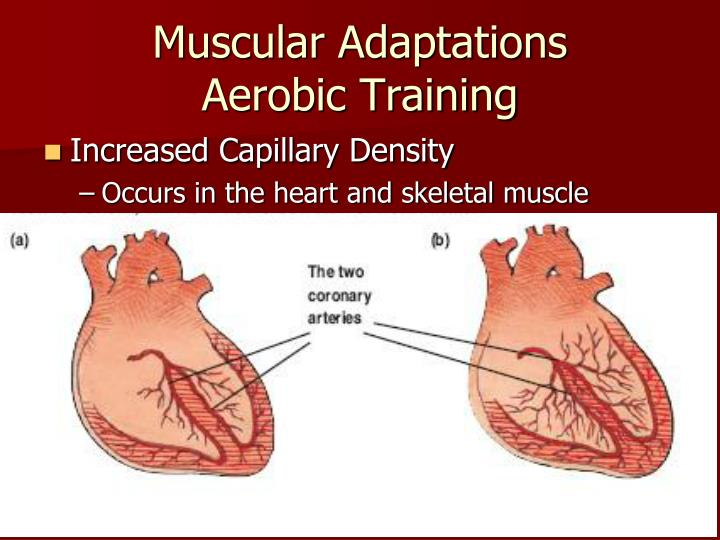 Muscular Adaptations