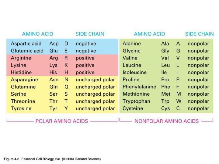 04_03_20 amino acids.jpg