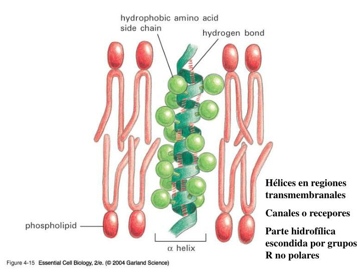 04_15_ahelix_lip_bilayer.jpg