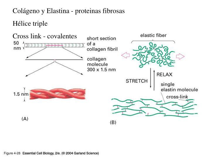 Colágeno y Elastina - proteinas fibrosas