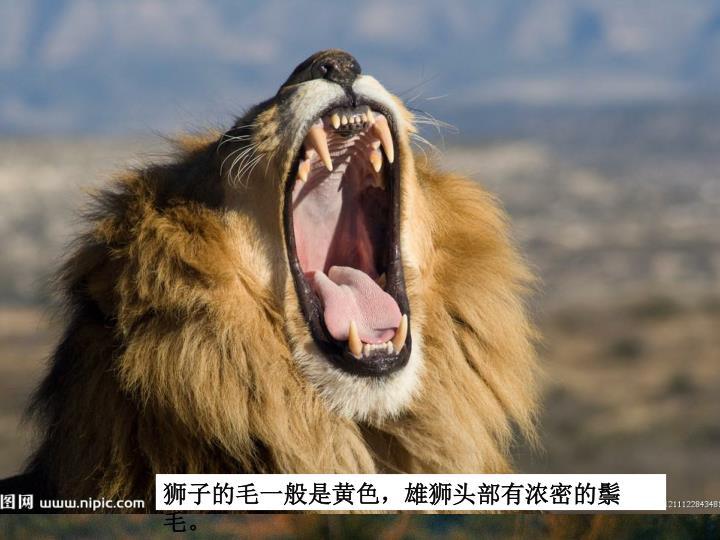 狮子的毛一般是黄色,雄狮头部有浓密的鬃毛。