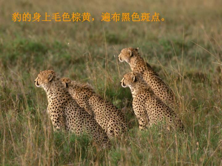 豹的身上毛色棕黄,遍布黑色斑点。