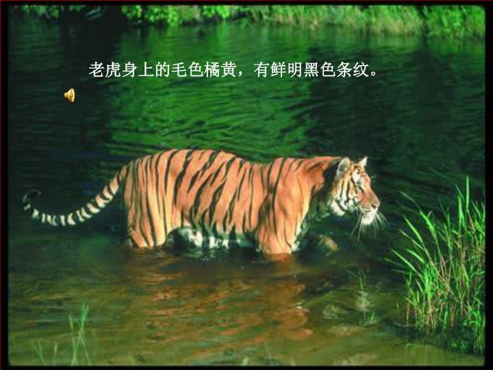老虎身上的毛色橘黄,有鲜明黑色条纹。