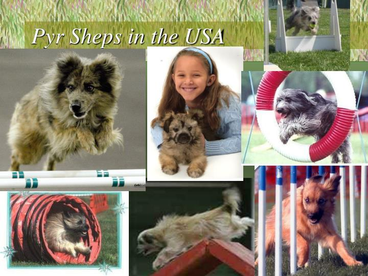 Pyr Sheps in the USA