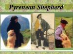 pyrenean shepherd1