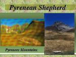 pyrenean shepherd2