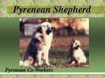 pyrenean shepherd6