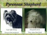 pyrenean shepherd9