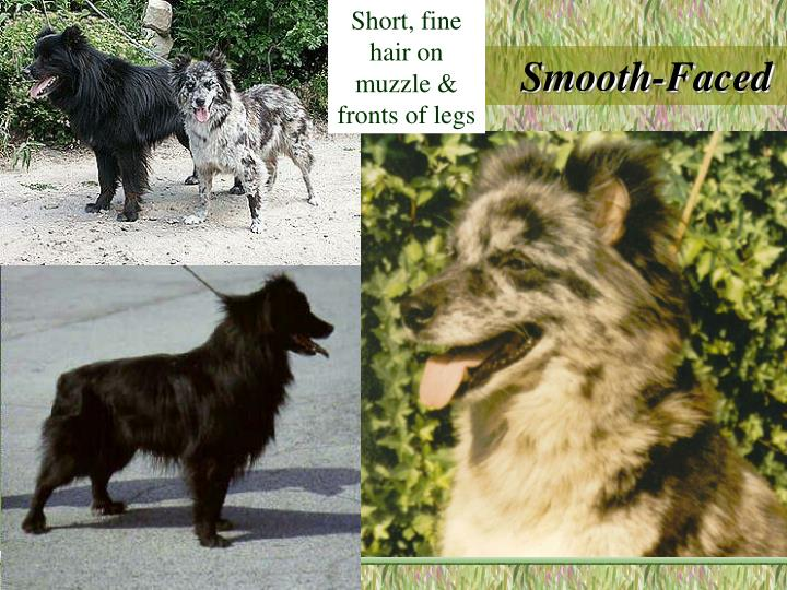 Short, fine hair on muzzle & fronts of legs