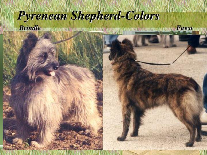 Pyrenean Shepherd-Colors