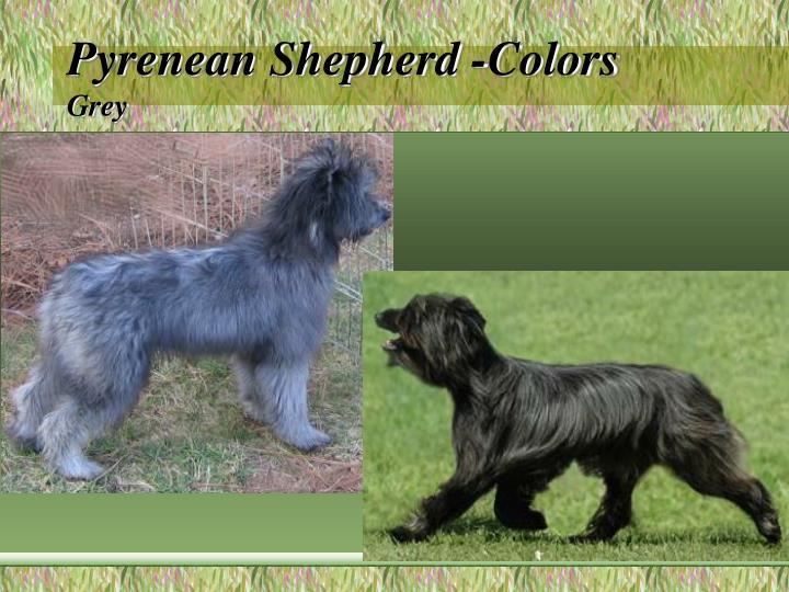 Pyrenean Shepherd -Colors