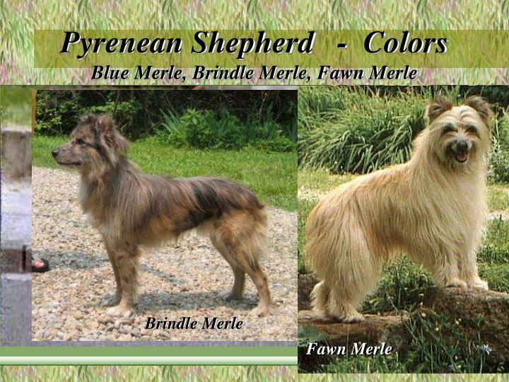 Pyrenean Shepherd   -  Colors