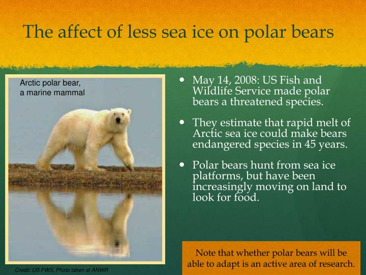 The affect of less sea ice on polar bears