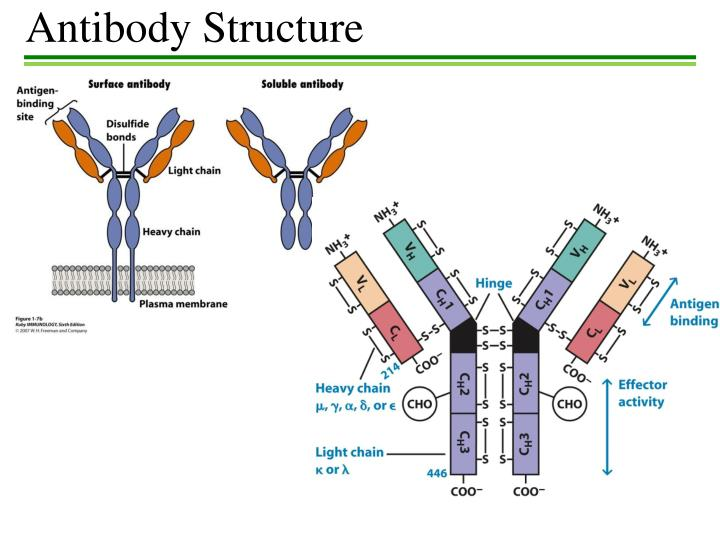 diversity of amino acids in antibodies Antibody phage display  amino acid diversity and distribution in the cdr-h3 of the initial library was retrieved in the cdr-h3 of selected antibodies showing that.