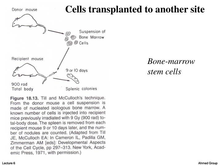 Cells transplanted to another site