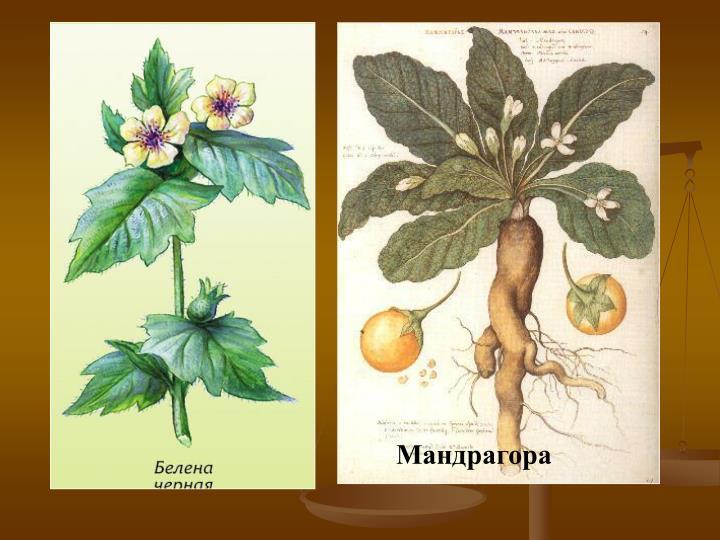 Мандрагора