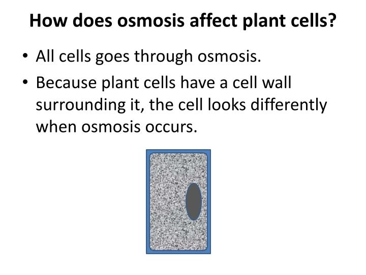 How does osmosis affect plant cells?