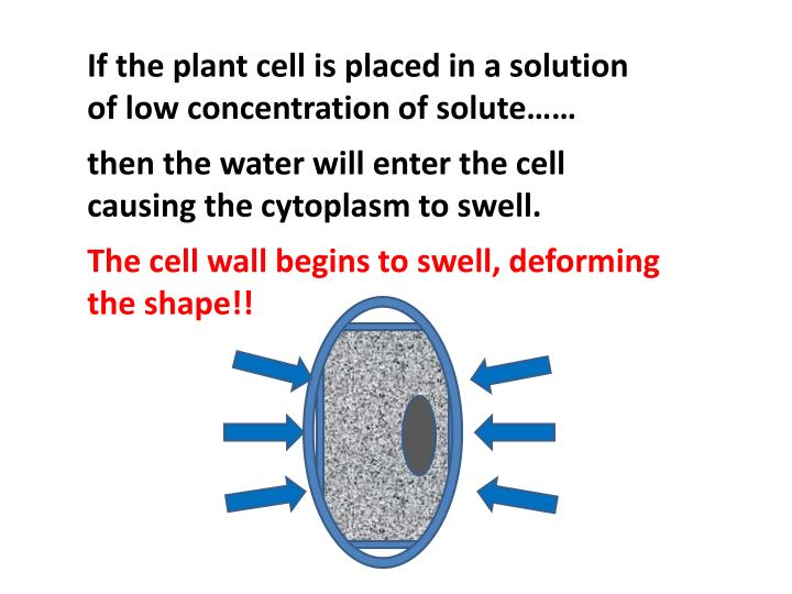 If the plant cell is placed in a solution of low concentration of solute……