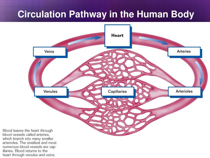 Circulation Pathway in the Human Body