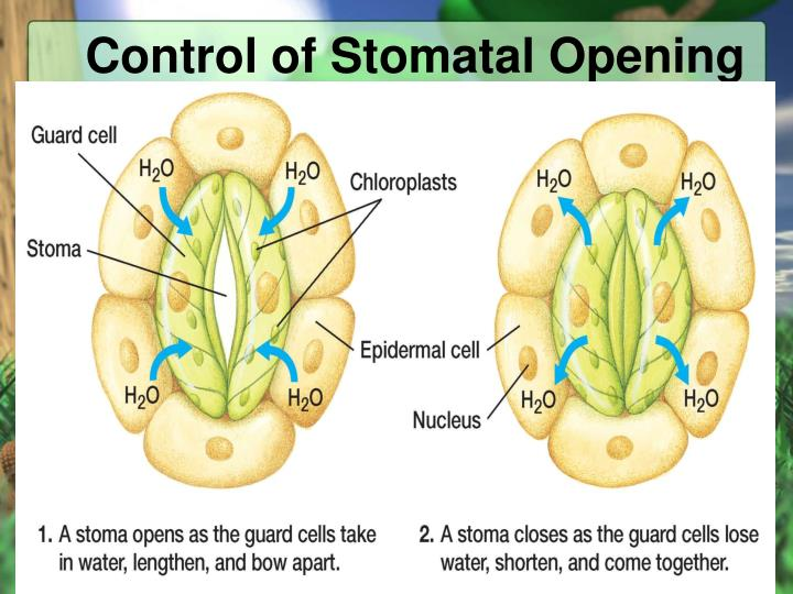 Control of Stomatal Opening