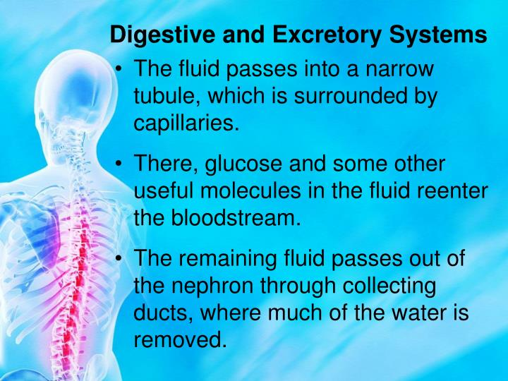 Digestive and Excretory Systems