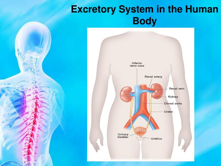 Excretory System in the Human Body