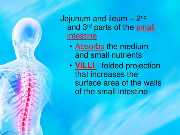 Jejunum and ileum – 2