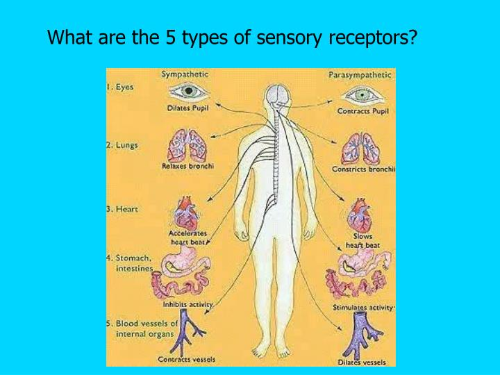 What are the 5 types of sensory receptors?