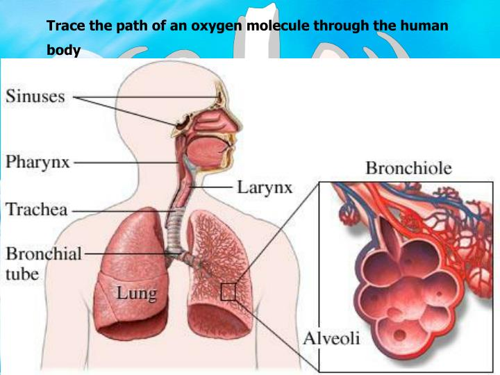 Trace the path of an oxygen molecule through the human body