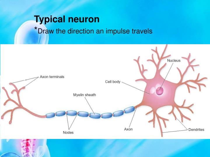 Typical neuron
