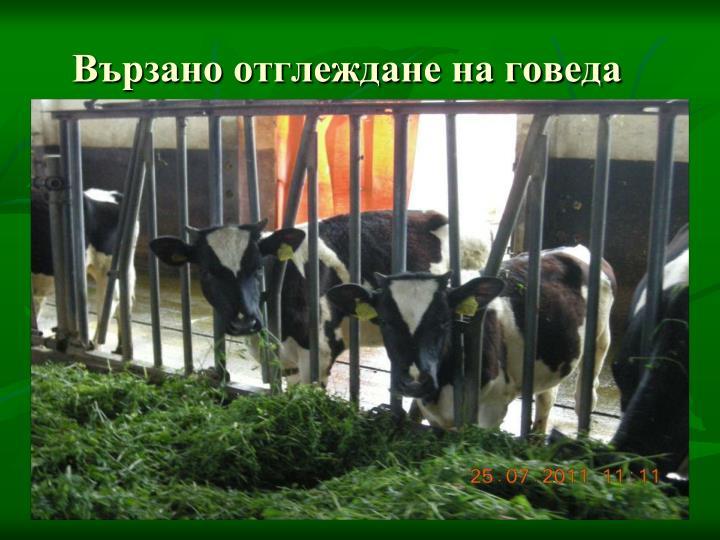 Вързано отглеждане на говеда