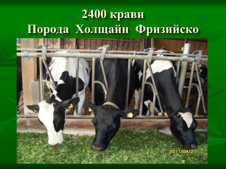 2400 крави