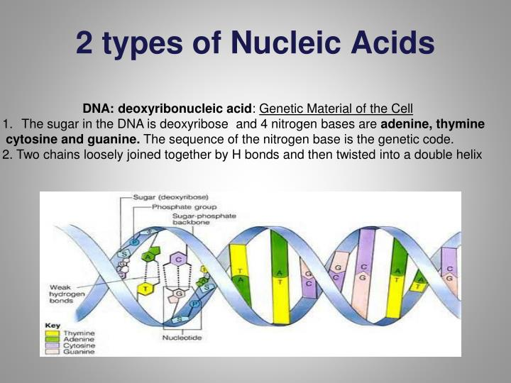 2 types of Nucleic Acids