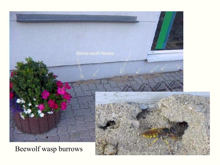 Beewolf wasp burrows