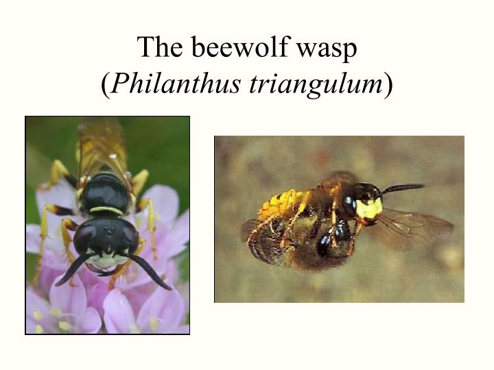 The beewolf wasp