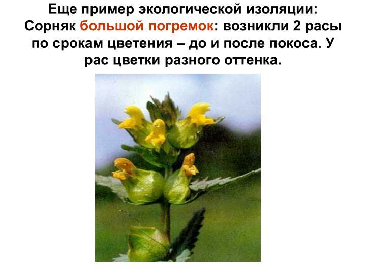Еще пример экологической изоляции: Сорняк