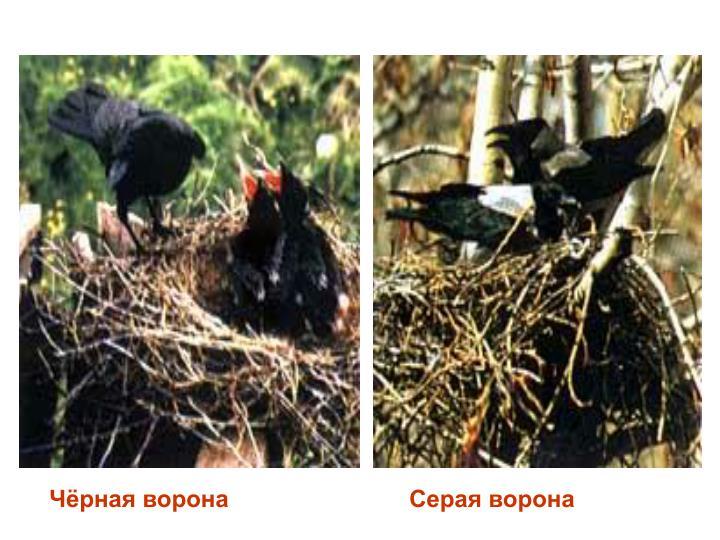 Чёрная ворона