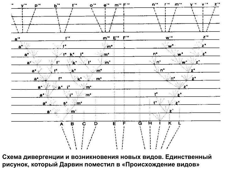 Схема дивергенции и возникновения новых видов. Единственный рисунок, который Дарвин поместил в «Происхождение видов»
