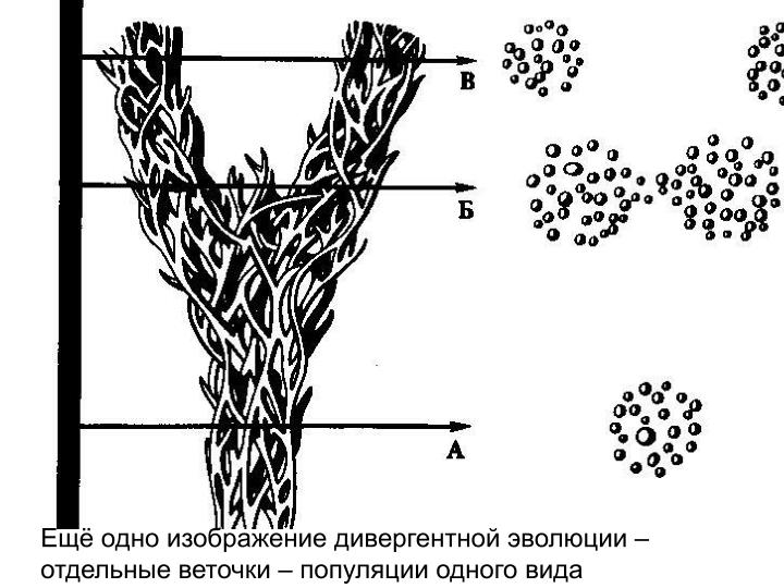 Ещё одно изображение дивергентной эволюции – отдельные веточки – популяции одного вида