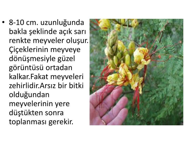 8-10 cm. uzunluğunda bakla şeklinde açık sarı renkte meyveler oluşur. Çiçeklerinin meyveye dönüşmesiyle güzel görüntüsü ortadan kalkar.Fakat meyveleri zehirlidir.Arsız bir bitki olduğundan meyvelerinin yere düştükten sonra toplanması gerekir.