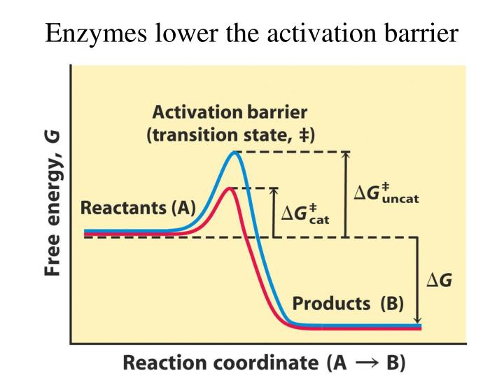 Enzymes lower the activation barrier