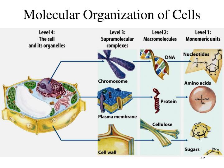 Molecular Organization of Cells
