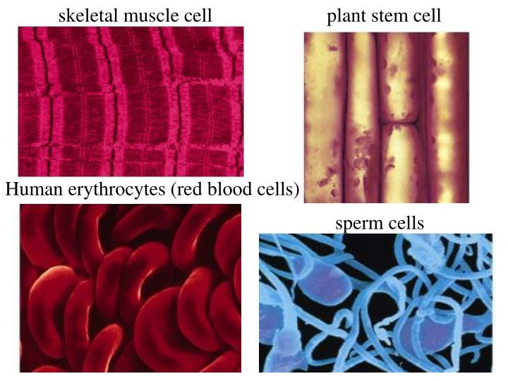 plant stem cell