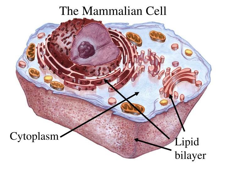 The Mammalian Cell