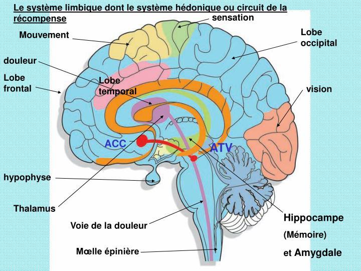 Le système limbique dont le système hédonique ou circuit de la récompense