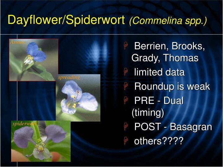 Dayflower/Spiderwort