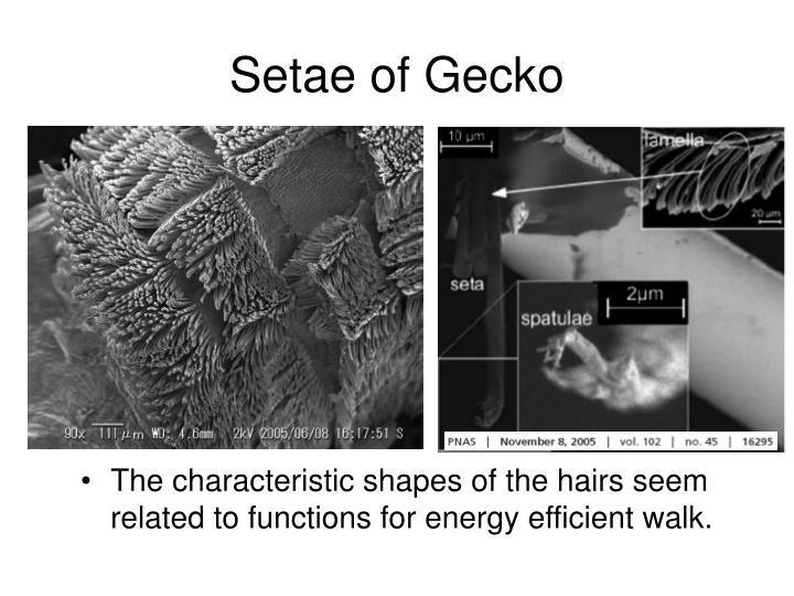 Setae of Gecko