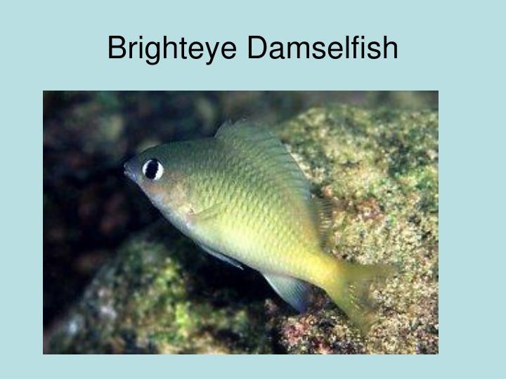 Brighteye Damselfish