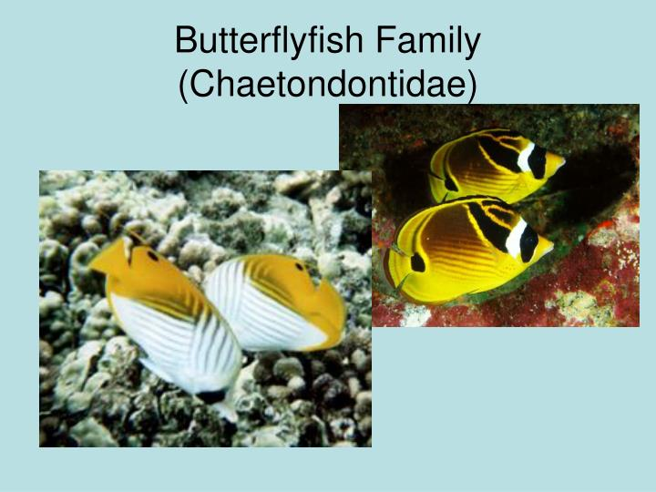 Butterflyfish Family
