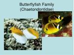 butterflyfish family chaetondontidae